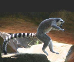 Ring_tail_lemur_leaping