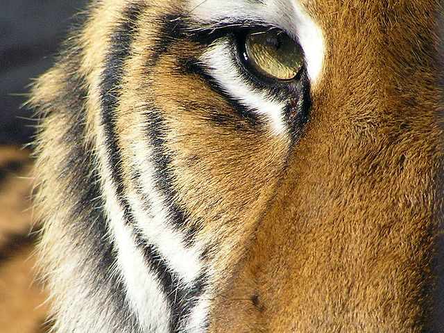 00640px-Tiger_eye_close-up_2006-11-10